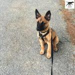 Tại sao chó Malinois con hay cắn đồ đạc trong nhà