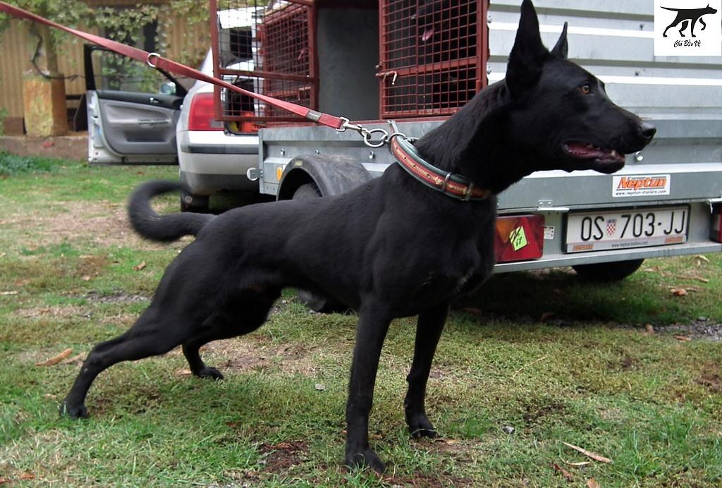 Những phương pháp chọn giống trong nghành chăn nuôi chó nghiệp vụ Malinois (Becgie Bỉ)