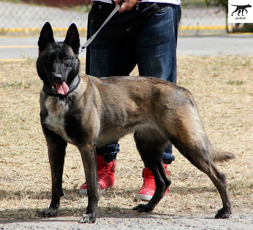 Tiêu chuẩn đánh giá dòng chó Malinois (Becgie Bỉ) chó chăn cừu thuần chủng