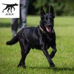 Tính cách và kích thước của chó Malinois (becgie bỉ)
