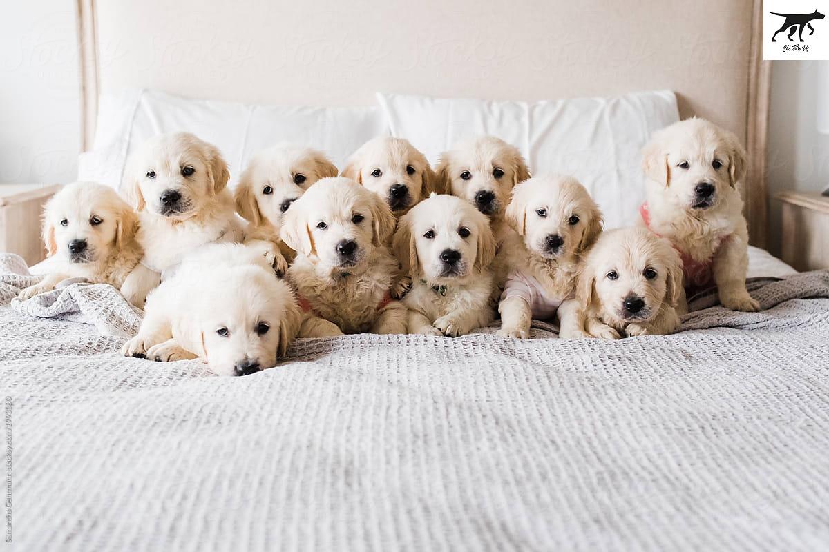 Chó Golden Retriever thuần chủng giá mua bán bao nhiêu tiền tại Hà Nội & tphcm