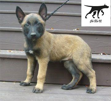 Chó Malinois (Becgie Bỉ) có rụng răng sữa và thay răng không