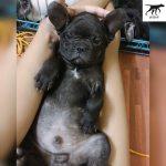 mua bán chó bull pháp tại Quảng Bình & Huế