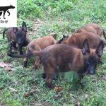 Lịch sử phát triển của chó Malinois (becgie bỉ)