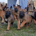 Sự phát dục động đực và giao phối của chó nghiệp vụ Malinois (Becgie Bỉ)