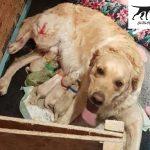Chó Golden Retriever mua bán ở đâu tại Sài Gòn & Bình Dương