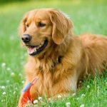 Chó Golden Retriever thuần chủng có khôn không và có bị rụng lông không