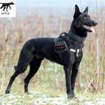 Chó Malinois (Becgie Bỉ) trưởng thành từ 6-12 tháng và những lý do nên mua
