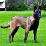Thức ăn tốt nhất cho chó Malinois (Becgie Bỉ) chó chăn cừu