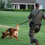 Huấn luyện chó nghiệp vụ Malinois (Becgie Bỉ) Chó Chăn Cừu các bài tập