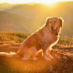 Tìm hiểu thông tin đặc điểm tính cách của chó Golden Retriever thuần chủng