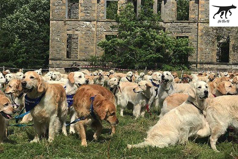 Chó Golden Retriever thuần chủng nặng bao nhiêu kg sống được bao lâu