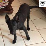 Những khái niệm cơ bản về huấn luyện chó nghiệp vụ Malinois (Becgie Bỉ)