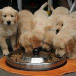 Cách Nuôi Chăm Sóc & Huấn Luyện Chó Golden Retriever thuần chủng