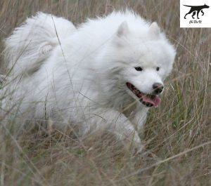 Tiêu Chuẩn Đánh Giá Giống Chó Samoyed thuần chủng