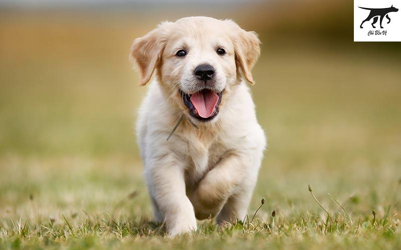 Tại sao không nên mua chó Golden giá rẻ Hà Nội & TPHCM