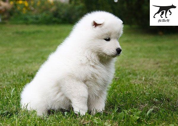 Chăm sóc và thức ăn cho chó Samoyed thuần chủng
