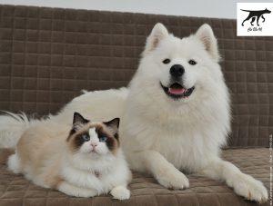 Chó Samoyed bị viêm da có mủ và rụng lông điều trị như thế nào