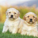 Chăm sóc chó Golden Retriever qua các thời kỳ từ 1 tháng đến 6 tháng tuổi