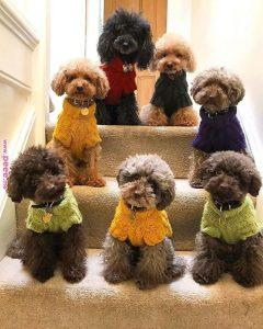 cách chọn màu phối chó poodle
