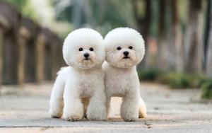 một số lưu ý khi phối giống chó poodle